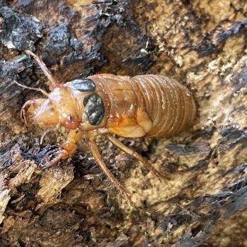 Cicada Mania 5
